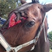 horse nasty injury 2